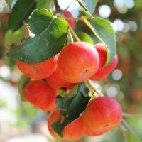 Райские яблочки :: Ирина Кураж