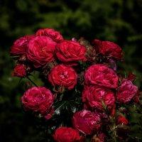 розовый куст :: gribushko грибушко Николай
