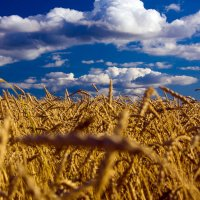 пшеничное безмолвие :: Светлана