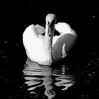 Лебедь-птица гордая! :: Наталья