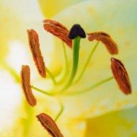 пестики-тычинки :: Тася Тыжфотографиня