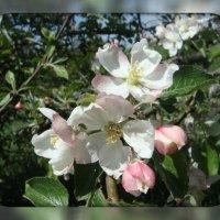 Яблони в цвету :: Iri_S (Ирина Саянова)