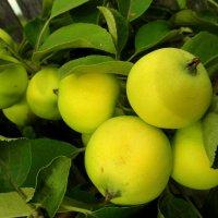 Яблочки к Спасу. :: nadyasilyuk Вознюк
