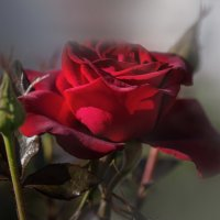 просто роза ... :: LuVladi -M ...