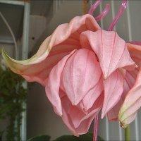 Цветок мединиллы :: Нина Корешкова