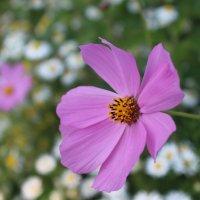 """ Розовый цветок"" :: Nadezda Solove"