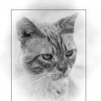 Портрет гуляки-2-из серии Кошки очарование мое! :: Shmual Hava Retro