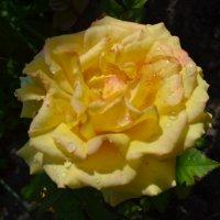 Пышная роза. :: zoja