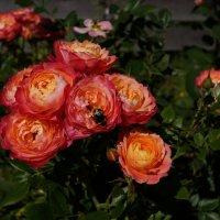 роза Briosa :: lenrouz