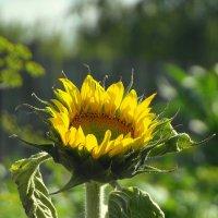 Подсолнушек радуется солнышку. :: nadyasilyuk Вознюк