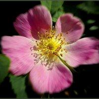 Каков цветок! :: Владимир Шошин