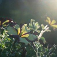 Дачное... Цветочное... :: Ольга Маркович