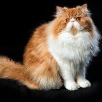 Кот позирует с пониманием безвыходности своего положения :: Анатолий Тимофеев