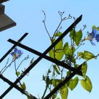 Ипомея на балконе :: barsik8668 Наташа