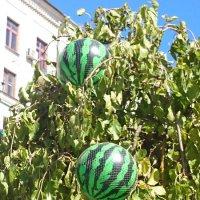 А арбузы-то, оказывается, растут на дереве!!! :: Galina194701