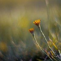 Гелиос 40-2 и цветочки :: Александр Зенкин