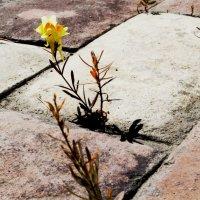 ...и на камнях растут Цветы :: Александр Липецкий