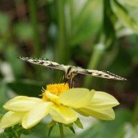 Бабочка в анфас :: Наталия Григорьева