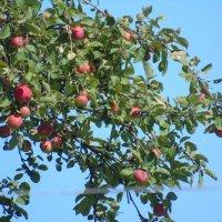 Преображенские яблочки :: Сергей Кунаев