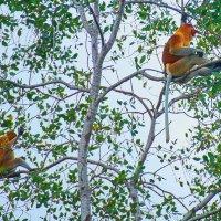 Носатые обезьяны о.Борнео в живой природе :: Андрей Крючков