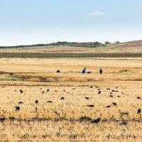 Кто быстрее уберет урожай? :: Александр Никишков
