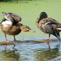 утки на озере :: Сергей Цветков