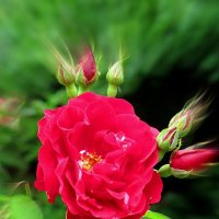Роза с бутонами :: Сергей Карачин