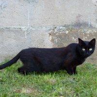 говорят, не повезет, если черный кот дорогу перейдет... :: Ольга Богачёва