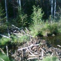 Плотина в лесу, построенная бобрами :: Виктор Елисеев