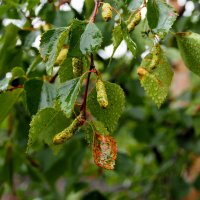 Почки и листочки после дождя :: Александр Попов