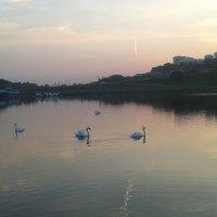Лебеди :: Наталья Дмитриева