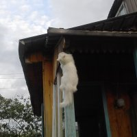И как эти коты весной на крыши забираются?! :: Владимир Ростовский