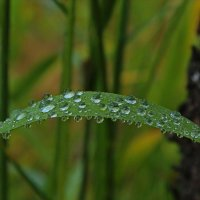 Капли летнего дождя :: Александр Велигура