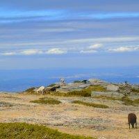 Пасутся высоко в горах. :: Helga Olginha