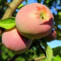 Наливные яблочки. :: Валентина ツ ღ✿ღ