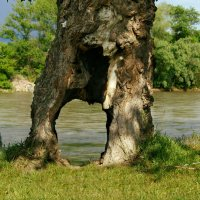 А дерево живет! :: Игорь Сикорский