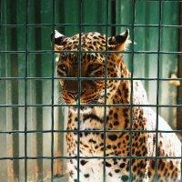 Леопард! :: Виктория Войтович