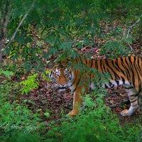 Тигр :: Tatyana Belova
