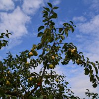 Яблочки. :: zoja