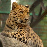 Амурский леопард :: Ptica Ptica