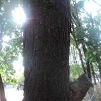 И вырос носик -  пятачок у дерева... :: Ольга Кривых