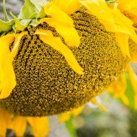 Летнее солнце :: Елена Дорогина