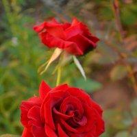 Розы. :: *MIRA* **
