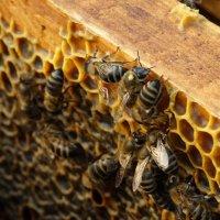 Пчелы :: Роман В.