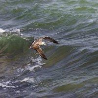 Парящая над волнами :: Валерий Басыров