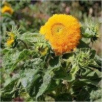 Солнечный цветок. :: Роланд Дубровский