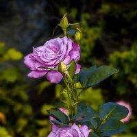 Розовые розы :: Андрей Дворников