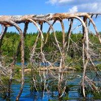 Умирающие деревья оз. Ишкуль :: Светлана Игнатьева