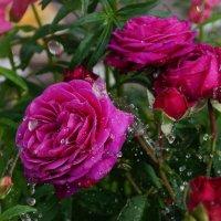 Розы :: kolyeretka
