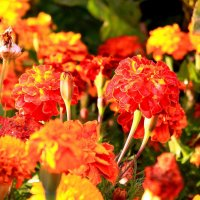 Осенние цветы - души очарованье :: Татьяна Ломтева